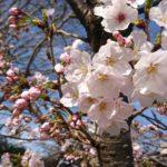 桜♪マリコ