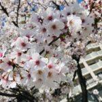 桜の季節 【森山】